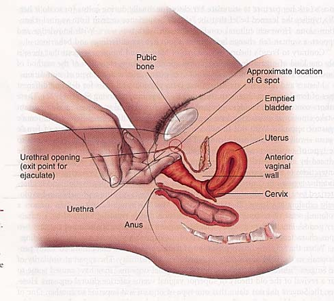 female internal anatomy g spot
